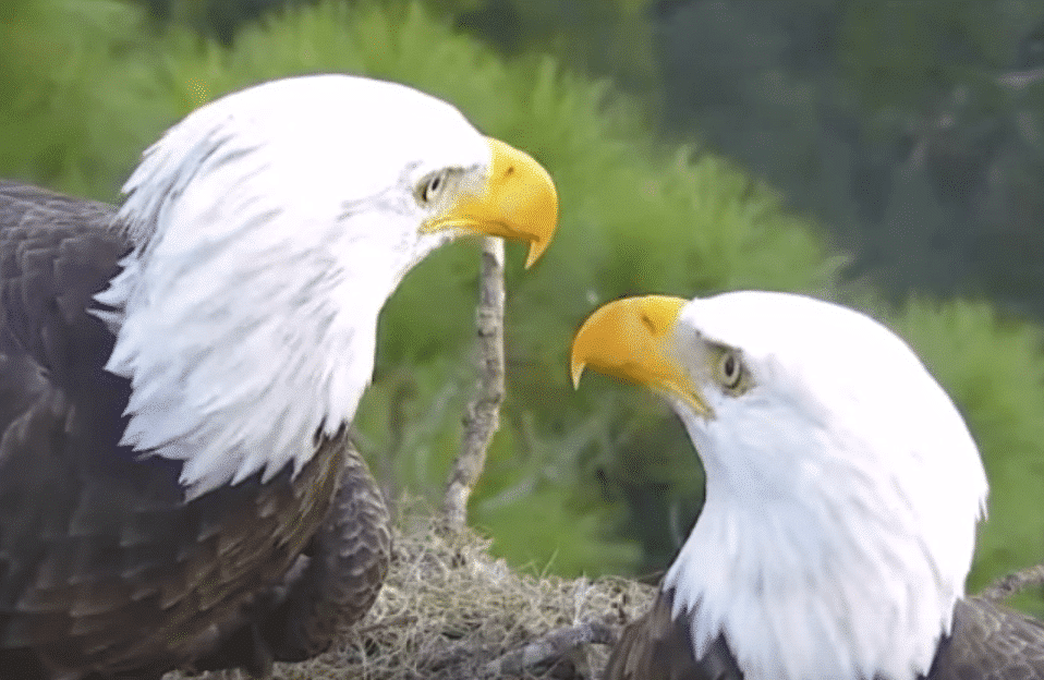 Pairs of Bald Eagles