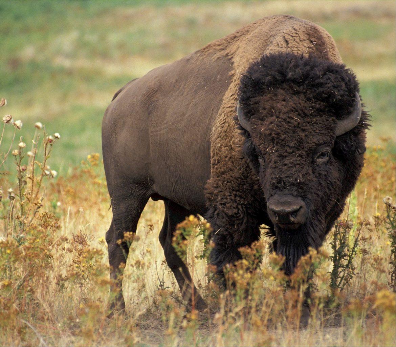 Indian Bison - Gaur