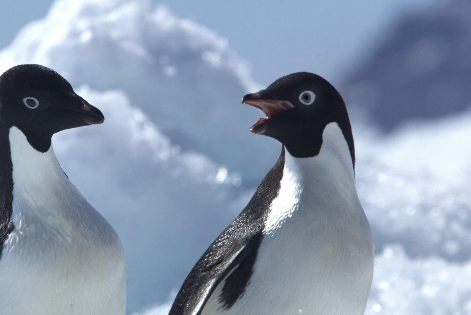the Adelie Penguin