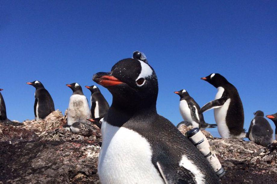 the gentoo penguin