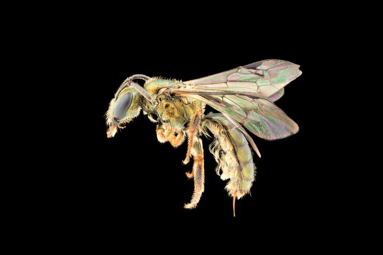 Nine Newly Discovered Species of Fijian Bees