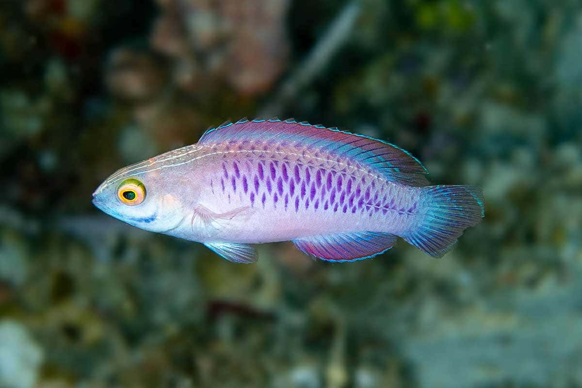 A fish named WAKANDA (Cirrhilabrus Wakanda)
