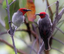 """A New Species of Honeyeater Birds Known as """"Alor myzomela"""":"""