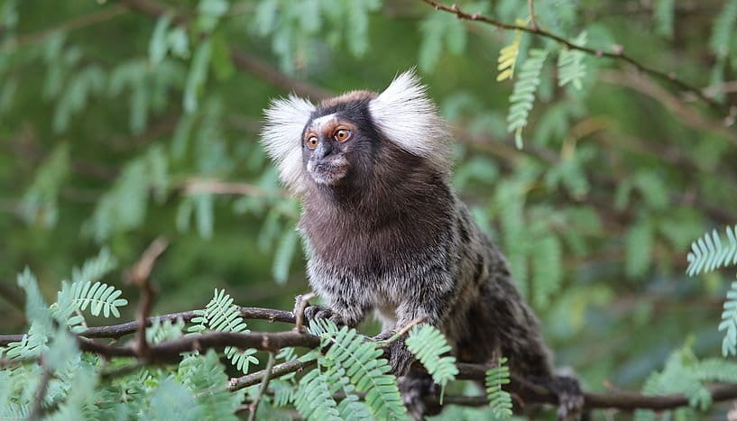 Newly Discovered Species of Marmoset