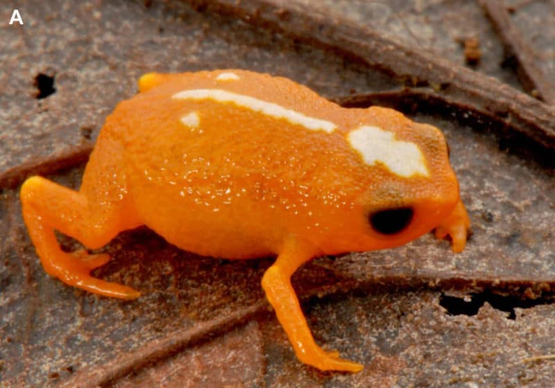 Mini Mums: Tiny New frogs from the Ancient Forests of Madagascar