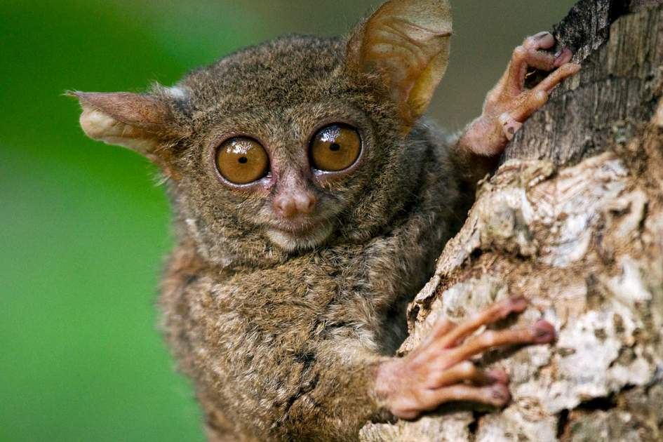 New Tarsier Discovered in the Mystic Lands of Indonesia
