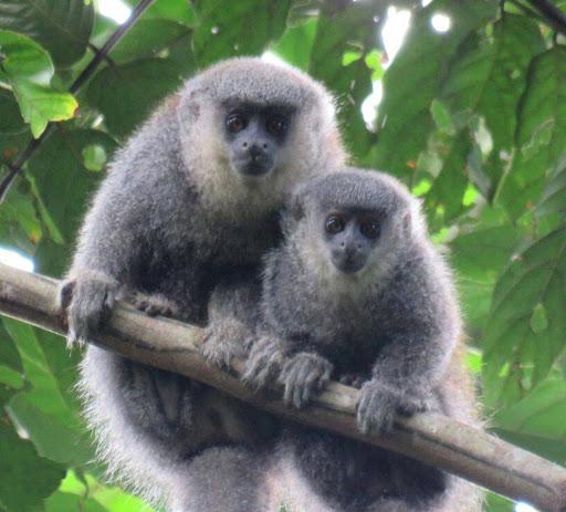 "New Species of Monkeys known as ""Plecturocebus parecis"""